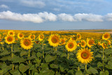 Land with sunflowers with white clouds