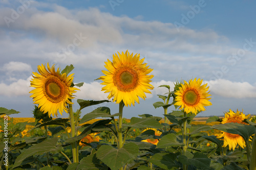 Three isolated sunflowers