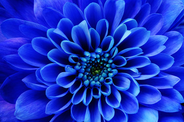 Macro of blue flower aster © fullempty