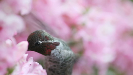 hummingbird in pink flowers macro