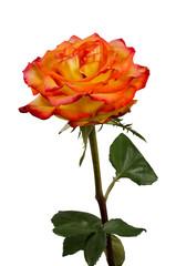 rose-macro-isolated