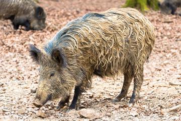 Wild Boar Sow 3