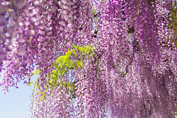 wisteria flowers in the spring garden