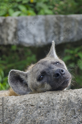 Plexiglas Hyena Hyena