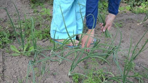 woman hands pick green natural onion grown in rural garden