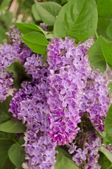 Syringa Lilac background