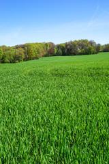 Ackerbau, junger Getreidebestand