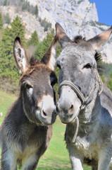 portrait de deux ânes côte à côte