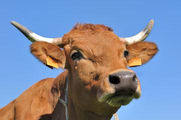 portrait vache tarine