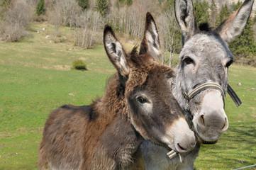 portraits d'ânes