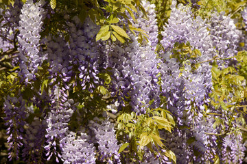 Spring in Milan, blossoming wisteria #05