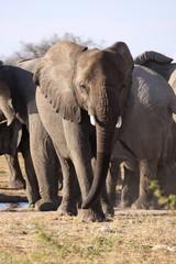 Elephant posing 1. Etosha Namibia