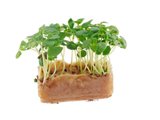 green shisho sprouts