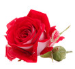 canvas print picture - Red rose flower head isolated on white background cutout