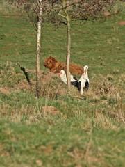 Storchenpaar mit Schottischen Hochlandrindern auf der Wiese