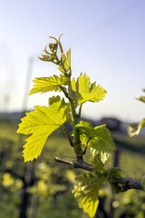 Springtime vineyard detail color image