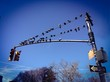Birds sunbathing at the traffic light