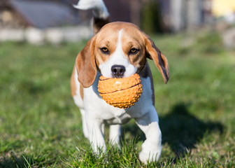 Playful Beagle Dog