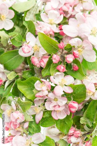 blossoming of apple tree flowers. springtime