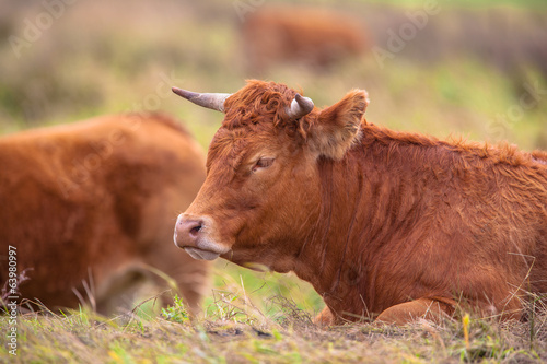 Poster Cow lying in the Field