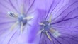 two balloon flowers macro