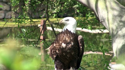 Bald Eagle (Haliaeetus leucocephalus) or American Eagle.