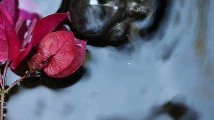 closeup of magenta bougainvillea floating in a fountain