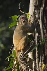 Rhesus Macaque monkey in Nepal