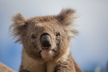 Extreme closeup of Koala