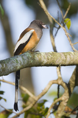 Rufous treepie bird in Nepal