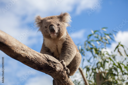 Fotobehang Koala Portrait of Koala sitting on a branch