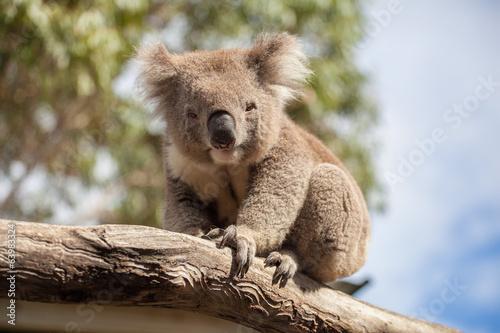 Foto Spatwand Koala Portrait of Koala sitting on a branch