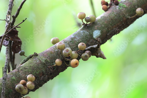 Wild fig fruit in Fraser's hill in Malaysia