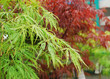 Green and Red Acer Leaves