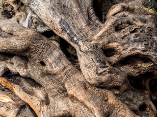 Stamm eines alten Olivenbaumes