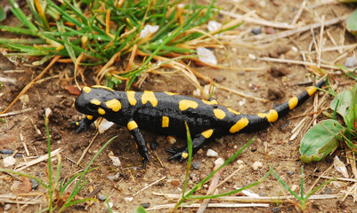 Fire Salamander on Ground