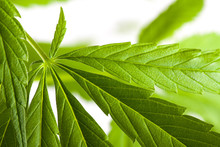 Roślin konopi indyjskich, marihuana na białym tle