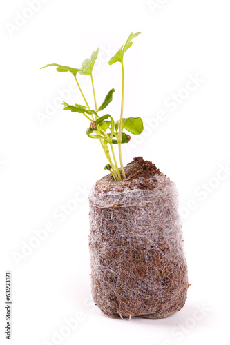 Young sprout in peat tablet, celery plant