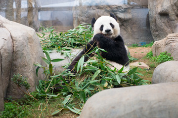 Cute Giant Panda eating bamboo