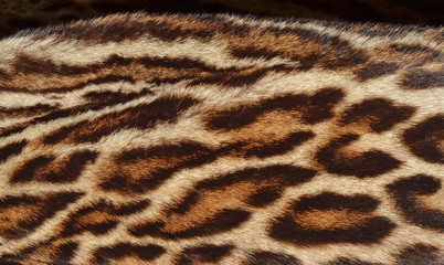 amur leopard fur background
