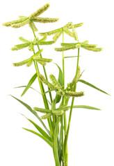 graminées sauvages, Dactyloctenium aegyptium