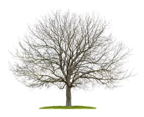 freigestellter Walnussbaum im Winter