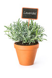 Fototapety Lavendel im Tontopf mit Pflanzenstecker