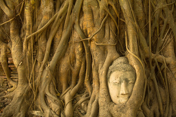 Buddha head in the roots of the tree