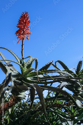 aloe arborescens with flower