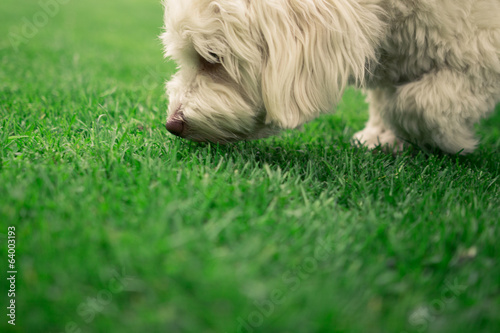 canvas print picture Sniffing Dog
