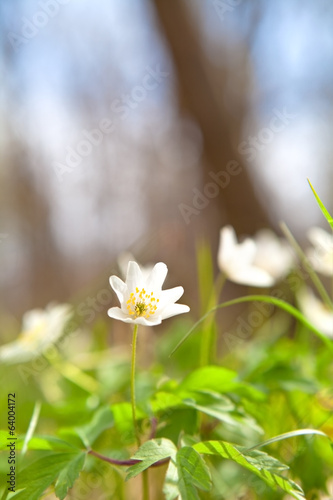 beautiful snowdrop anemone flower