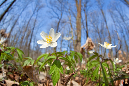 flowering snowdrop anemone in forest