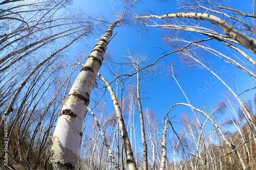 birch trees over blue sky