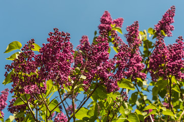 Purple buds  and young leaves of a Common Lilac